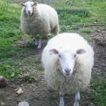 turismo-rural-ecologico-pousadoira-galicia-animales-ovellas_1